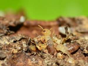 How to Recognize and Manage Termites